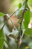 Australský Zelený strom žáby — Stock fotografie