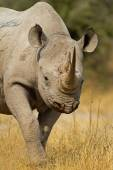 Portrait of Black Rhinoceros — Stock Photo