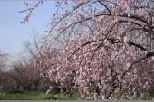 Beautiful plum flowers — Stock Photo