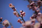 Beautiful plum flowers bloom in spring — Stock Photo