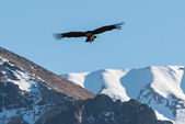 Andean condor flying in the Colca Canyon Arequipa Peru — Stock Photo