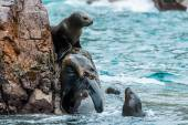 Sea lions fighting for a rock — Stock Photo