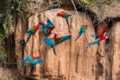 Macaws in clay lick — Stock Photo