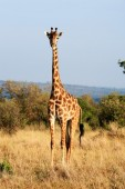 Maasai or Kilimanjaro Giraffe grazing Kenya — Stock Photo