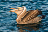 Peruvian pelican swallowing fish — Stock Photo