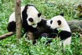 Two Panda bears cubs playing Sichuan China — Stock Photo