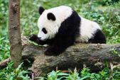 Panda bear cub playing Sichuan China — Stock Photo