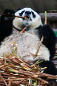 Giant panda bear Sichuan China — Stock Photo