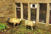 Cornered Sheep — Stock Photo
