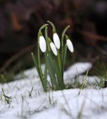 Snow Drops — Stock Photo