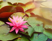 Pink Lily Pad in Water with Copyspace — Stock Photo
