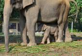 Young elephant beside mother elephant in the forest — Stock Photo