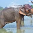 Cute Asian elephant blowing water out of his trunk in Chitwan N. — Stock Photo #70524617