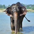 Cute Asian elephant blowing water out of his trunk in Chitwan — Stock Photo #70583743