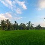 pirinç alan — Stok fotoğraf #67766803