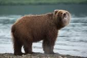Kamchatka brown bear — Stock Photo