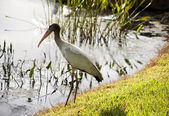 One  baby storks on a lake in Florida — Stock Photo