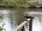 Osprey eating mullet fish in Florida — Stock Photo