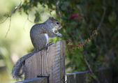Closeup of cute grey squirrel eating peanut. Nature background — Stock Photo