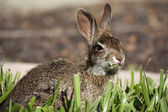 Closeup of cute cottontail bunny rabbit eating grass — Stock Photo