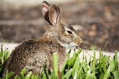 Closeup of cute cottontail bunny rabbit in the garden. — Stock Photo