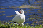 American White Ibis with a red beak (Eudocimus albus) grooming Feathers — Stock Photo
