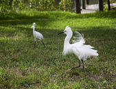 Two white egrets  with ruffled feathers protecting territory. White Crane — Stock Photo