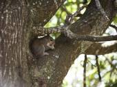 Closeup of cute grey squirrel eating peanut, sitting on a tree branch. Composition with animal — Stock Photo