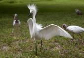 White egret  with ruffled feathers protecting territory. White Crane. Ibeses behind — Stock Photo