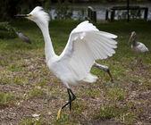White egret  with ruffled feathers protecting territory. White Crane — Stock Photo