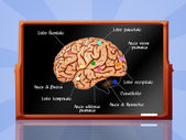Brain anatomy — Stock Photo