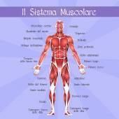 The muscular system — Stock Photo