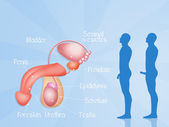 Male reproductive system — Stock Photo