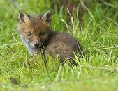 British Fox Cub — Stockfoto
