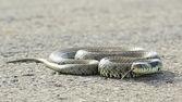 British Grass Snake — Zdjęcie stockowe
