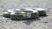 British Grass Snake — Stockfoto