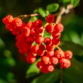 Rowan berries — Stock Photo