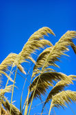 Background of Beauty in nature Golden dry grass — Stock Photo