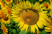 Beautiful  sunflower with a bee — Stock Photo