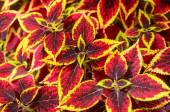Coleus or Painted Nettle background. — Stock Photo