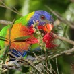 Rainbow Lorikeet  — Stock Photo #54725815