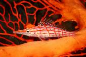 Long Nosed Hawkfish — Stock Photo