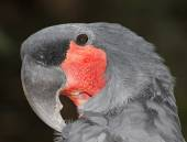 Palm Cockatoo, Probosciger aterrimus — Stock Photo