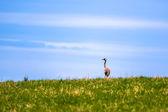 Beautiful crane standing on a green meadow — Stock Photo