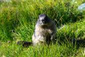 Marmot standing on hind legs in the grass — Stok fotoğraf