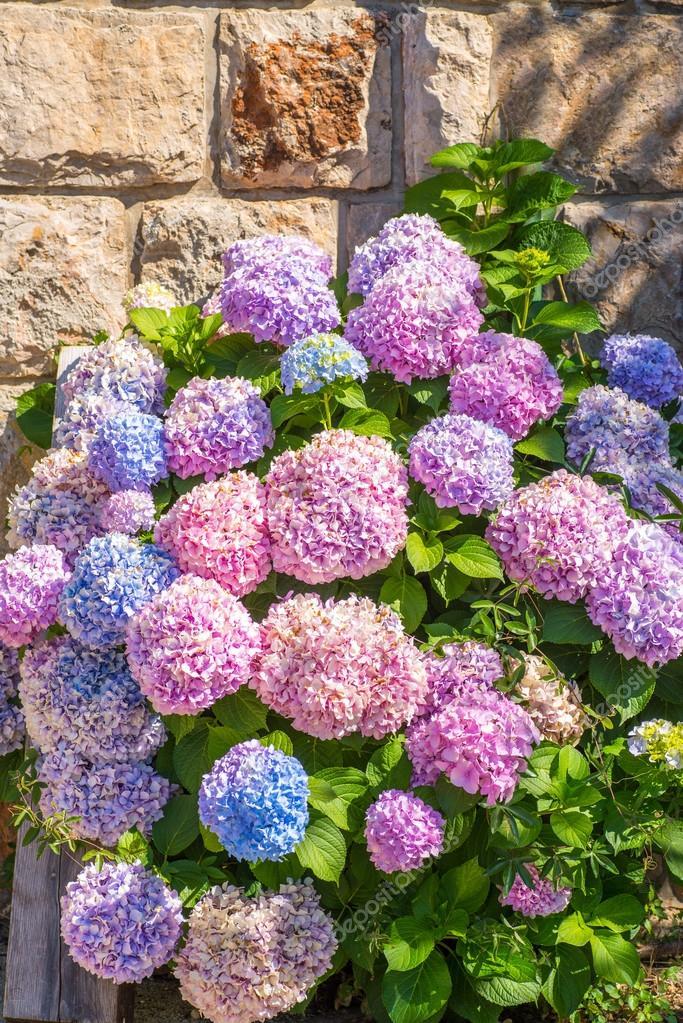 grandes hortensias de diferentes colores u fotos de stock