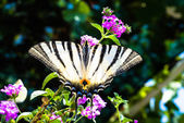 Butterfly sitting on a plant with purple flowers — Stock Photo