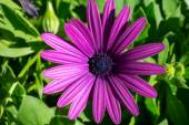 Purple daisy with lots of green leaves in the background — Stock Photo