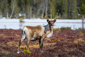 Beautiful reindeer bull looking directly into the camera — Stock Photo