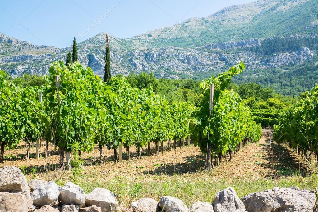 Виноградники в хорватии купить